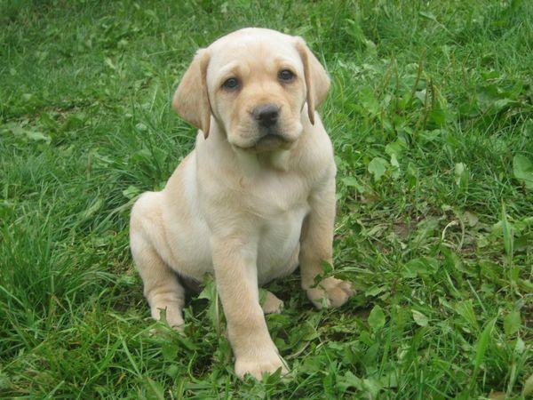 Granule pro štěně Labradora