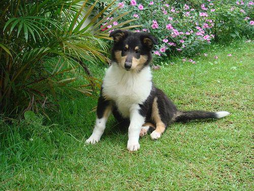 Granule pro štěně Kolie