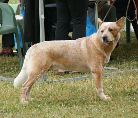 Granule Australský honácký pes
