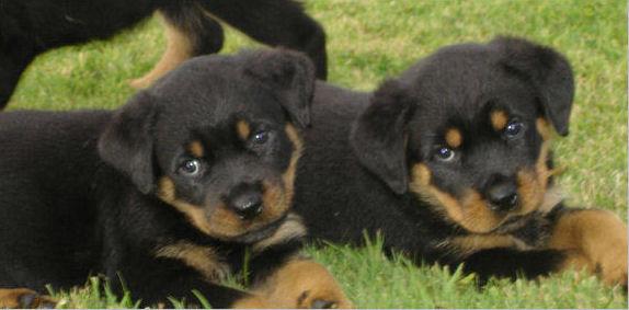 Granule pro štěně Rotvajlera