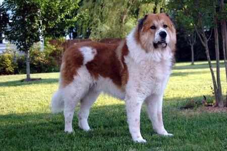 granule Kavkazský pastevecký pes