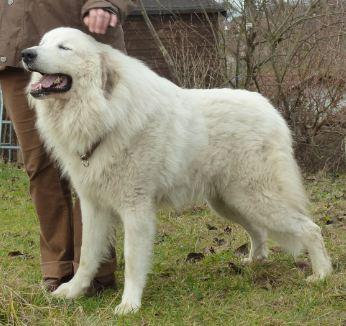 Granule Pyrenejský horský pes