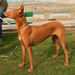 Granule Faraonský pes