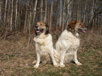 Granule Český horský pes