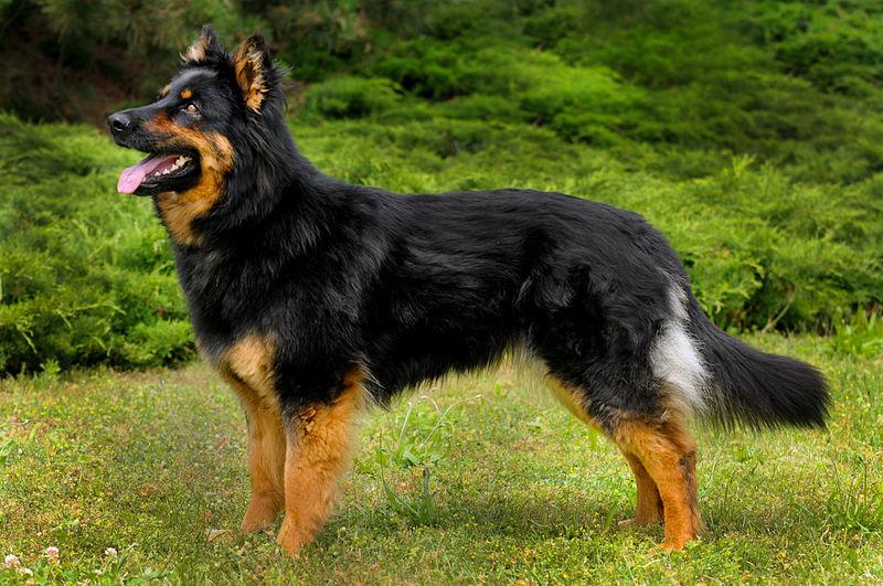 Granule Chodský pes